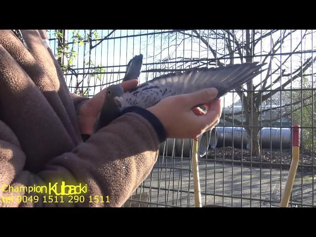 młode gołębie 2020r. na sprzedaż tel 0049 1511 290 1511