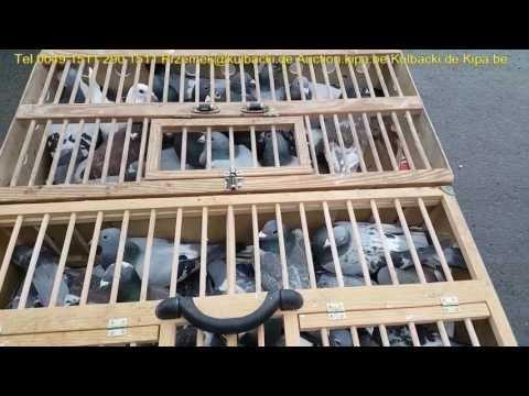 Legalna Hodowla Przemyslaw Kulbacki wysyłka gołębi na całą Europę i świat tel 0049 1511 290 1511