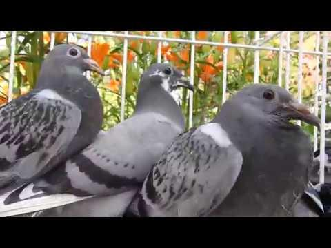 Uniwersalne gołębie Ryszarda tel. 728 465 939 - Wyżymacze