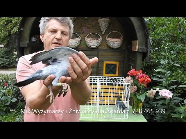 Szybkie gołębie dla Adama tel. 728 465 939