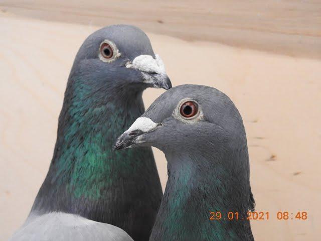 Ryszarda pasja - szybkie gołębie tel. 728 465 939