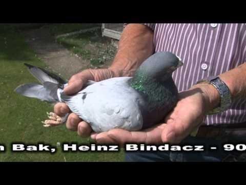 Heinz Bindacz- Prezentacja gołębi