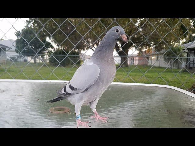 Dervi de camajuani entrenamiento mas de 1200 palomas