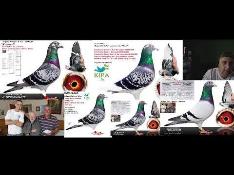 | 1 najlepsza samica w Polsce 50% Kulbacki | Racing Pigeons | Super Mistrz Live Na Żywo
