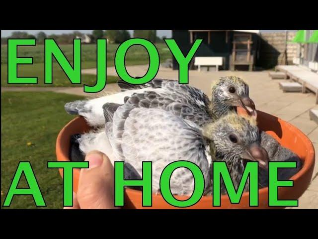 ENJOY PIGEON SPORT AT HOME #StayInside #StayHome #StayHealthy