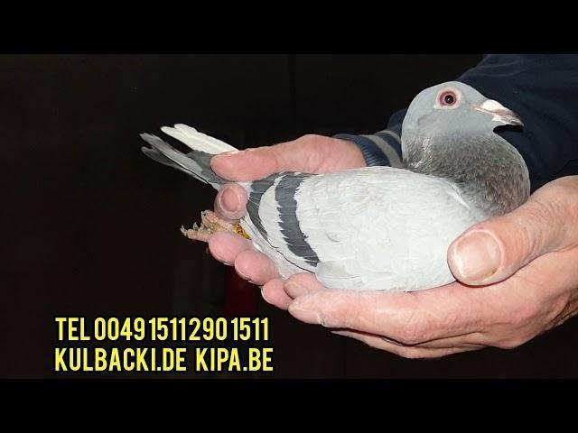 Mleko Kulbackiego uratowało gołębie przed śmiercią, zamówienia na tel, jutro następne wysyłki! ©