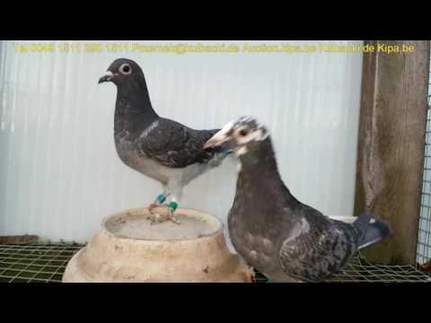 już sprzedane, wybitne gołębie rasy Stampara Dolce vita Ramses Rasa Kulbacki best quality in world