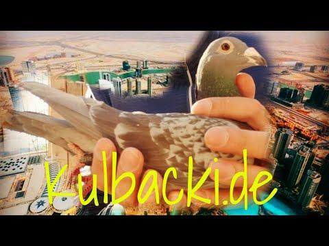 my Kulbacki pigeons in DUBAI and KUWAIT + interview with happy breeder of USA   25. Februar 2019