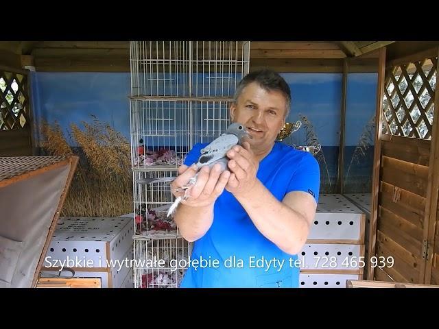 2 Lot konk. gołębi młodych 194 km z  Krotoszyna 30 06 2020