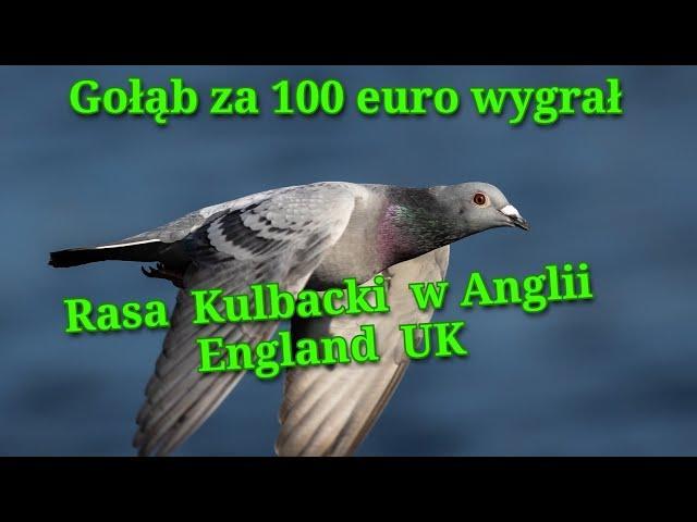 Gołąb za 100 euro rasy Kulbacki pokonał w Anglii milionerów, i twój mistrz ma moje gołębie!