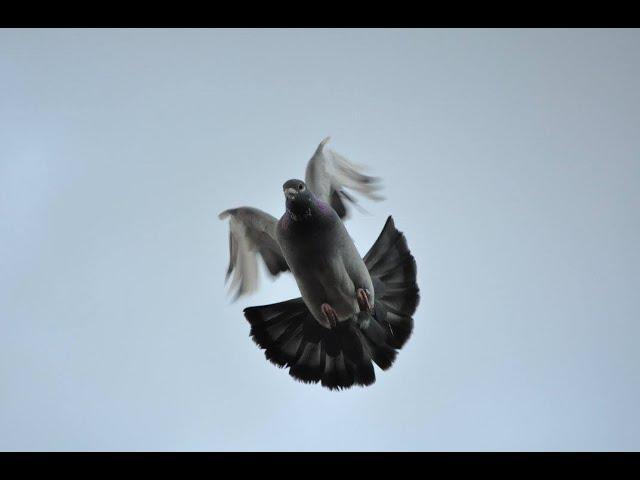 Wysyłka gołębi do Londynu , szybkie złote strzały tel. 728 465 939