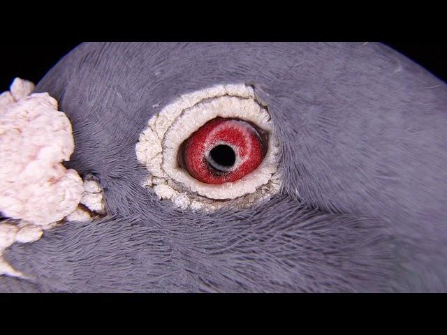 Oko gołębia rozpłodowego