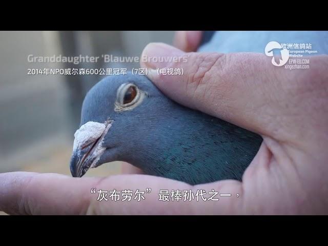 Duiven Poelstra pigeons deel 2