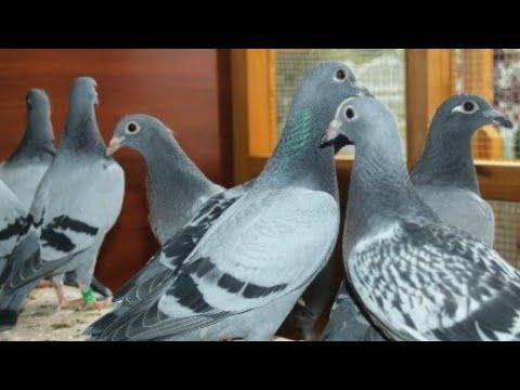 KULBACKI PIGEONS FOR USA AND CANADA HAWAII DIRECT TO YOUR HOME ADRES TEL +4915112901511