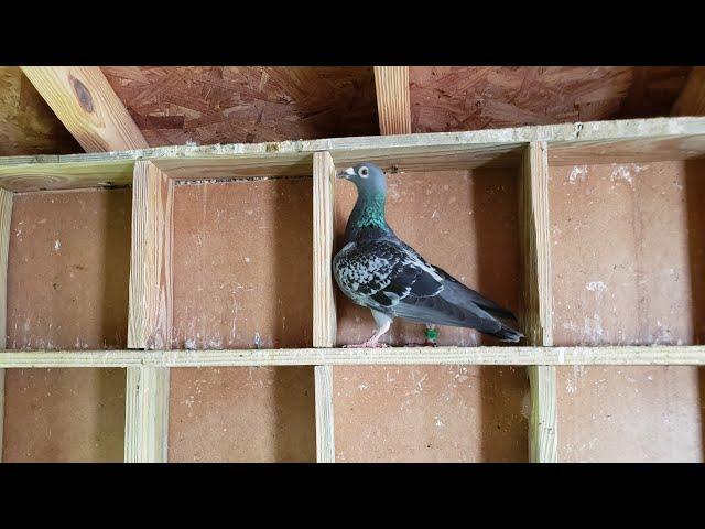 Vamos a crear conciencia,estan soltando las palomas bajo de la lluvia