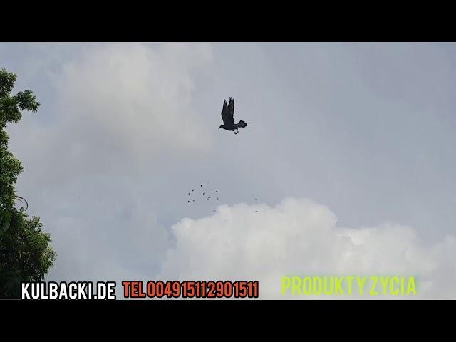Zapraszam do współpracy tel 0049 1511 290 1511, gołębie będą jak nowo urodzone na moich PRODUKTACH