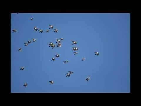 Gołębie w niebie ...