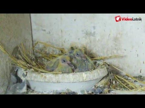 Obrączkowanie gołębi pocztowych /// Ringing pigeons