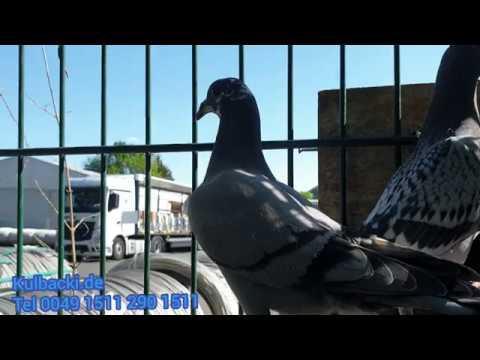 15. Mai 2020, gołębie dla królewicza, meine Tauben für den Prinzen