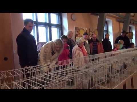 Výstava poštovních holubů OS Sever v Novém Městě pod Smrkem. 21 11 2015.