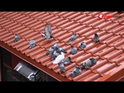 Gołębie podczas deszczu - Pigeons in the rain