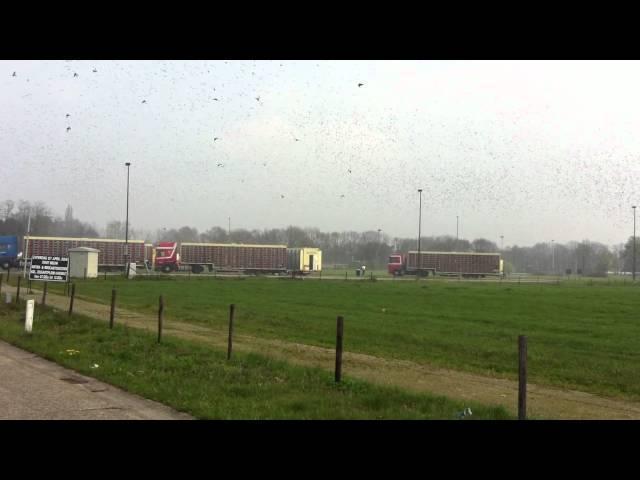 Lossing Nederlandse Duiven Kiewit Kerk 14-04-2012 (12u30)