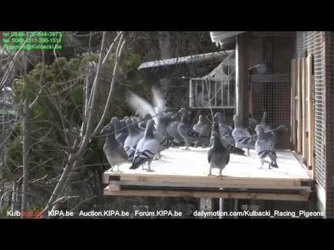 WhatsApp 0049-1511-290-1511 CHAMPION KULBACKI BREEDING PRESENTS young pigeons outside 2015 part 3