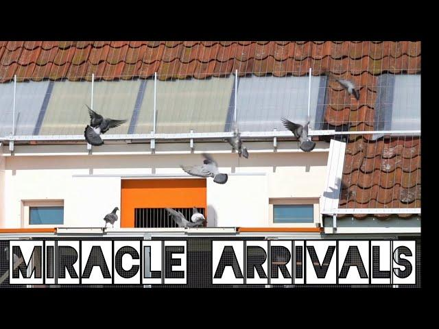 Vlog #79 THE MIRACLE Arrivals From A 298km Pigeon Race