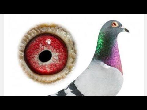Palomas de Darwin 11 plumas
