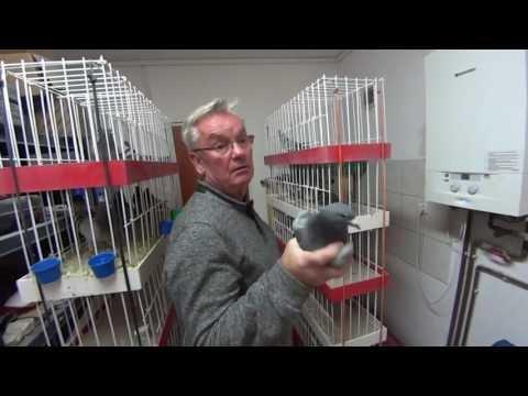 Andrzej Głazik - PRIMA - gołębie rozpłodowe (Mattheeuws, Drapa, Janssen) - część 1.