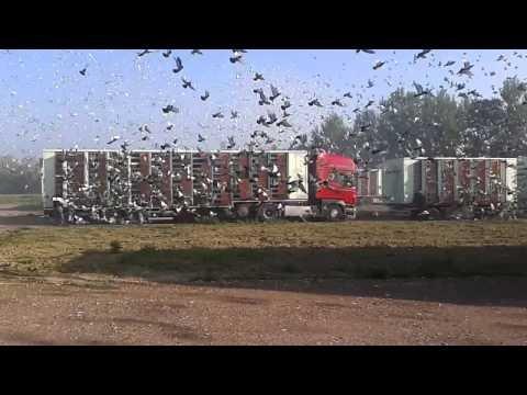 duiven lossen quevrain