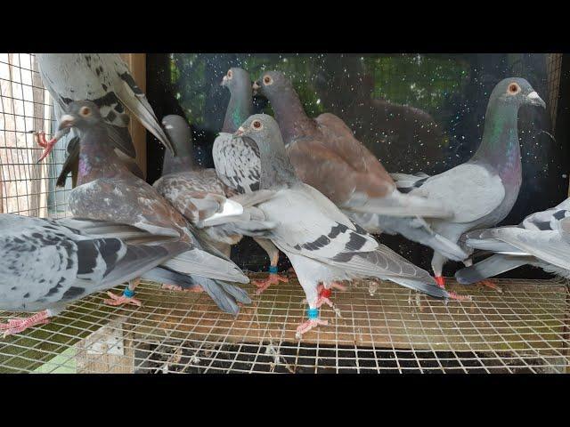 Rasse Kulbacki für den deutschen Meister ,dla Mistrza Niemiec my pigeons for Germany champion