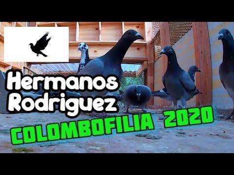 Las  Palomas Mensajeras de RODRIGUEZ LOFT  #CASQUEROS