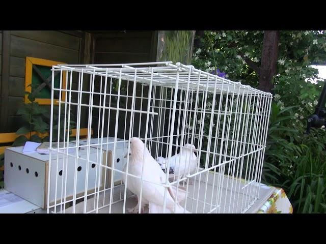 Gołębie na ogród - Staśki Ryśka.