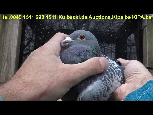 NA SPRZEDAZ; FOR SALE; TOP QUALITY OF GERMANY RACING PIGEONS BY KULBACKI WhatsApp +49-1511-290-1511
