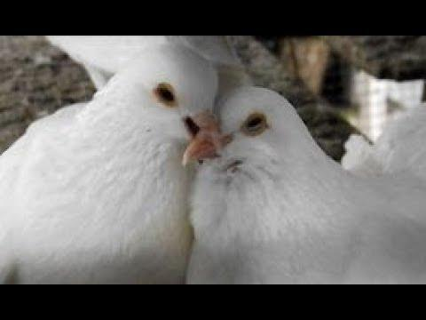 Pigeon's Love Life - BIRDS kissing + mating dances