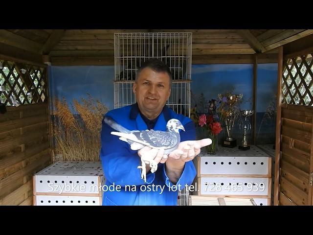 Bardzo ostry lot gołębi młodych , sprzedaż tel. 728 465 939