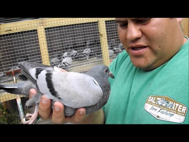 Gaby Vandenabeele  -  ????  Pigeon Young Bird  ????