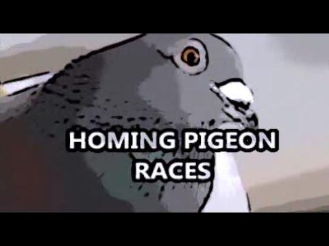Questions About Homing Pigeon Races