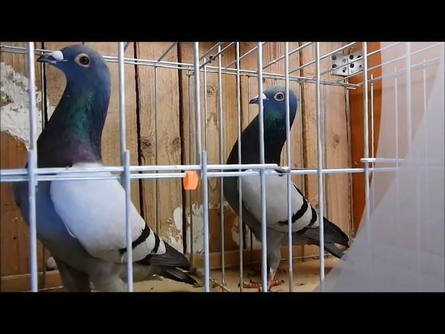 Prezent parka gołębi dla Arka tel. 728 4565 939