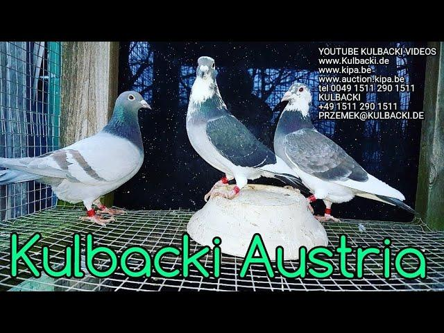 RASSE KULBACKI IN ÖSTERREICH MY PIGEONS FOR AUSTRIA, next shipping ERBIL BAGDAD BASRA IRAQ