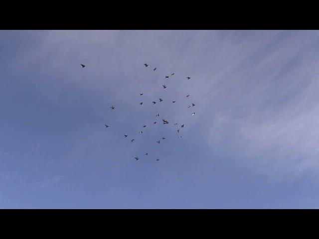 duiven jongen