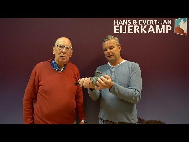 Week offer with a 100% G&S Verkerk pigeon  (SOLD)