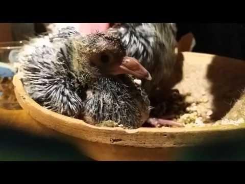 Deel 1 jonge duiven voeren met de mond