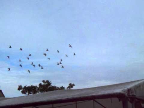 jonge duiven 2011