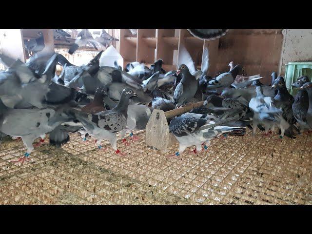 ważne informacje: Porady dla Hodowców gołębi pocztowych informationen im Brieftaubensport NATURE