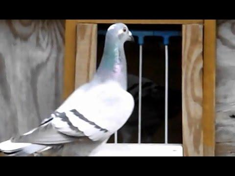 280 mile Pigeon Race - Pigeons returning and trapping to Loft