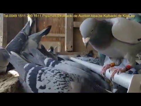 Lot treningowy z Oddzialem CASTROP 100KM KULBACKI RACING PIGEONS TEL 0049 1511 290 1511