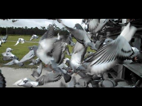 Racing Pigeon Young Bird Race #2 - 2014