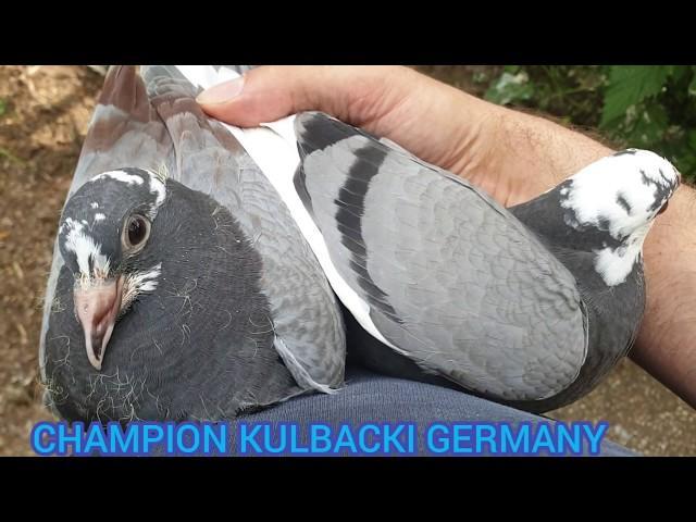 Młode na sprzedaż po najlepszych gołębiach oddziału i  Dolce Vita inbredy i Fieneke 90.000euro